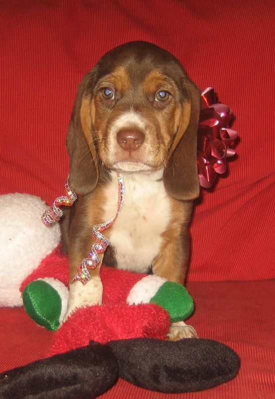 Beagle Puppies For Sale Macybay Beagles Puppies For Sale