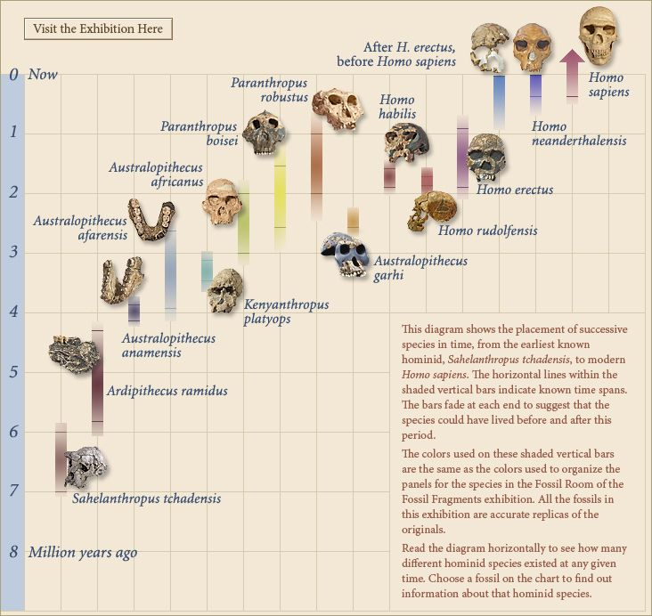 Homonid evolution timeline, from Yale University Museum's ...