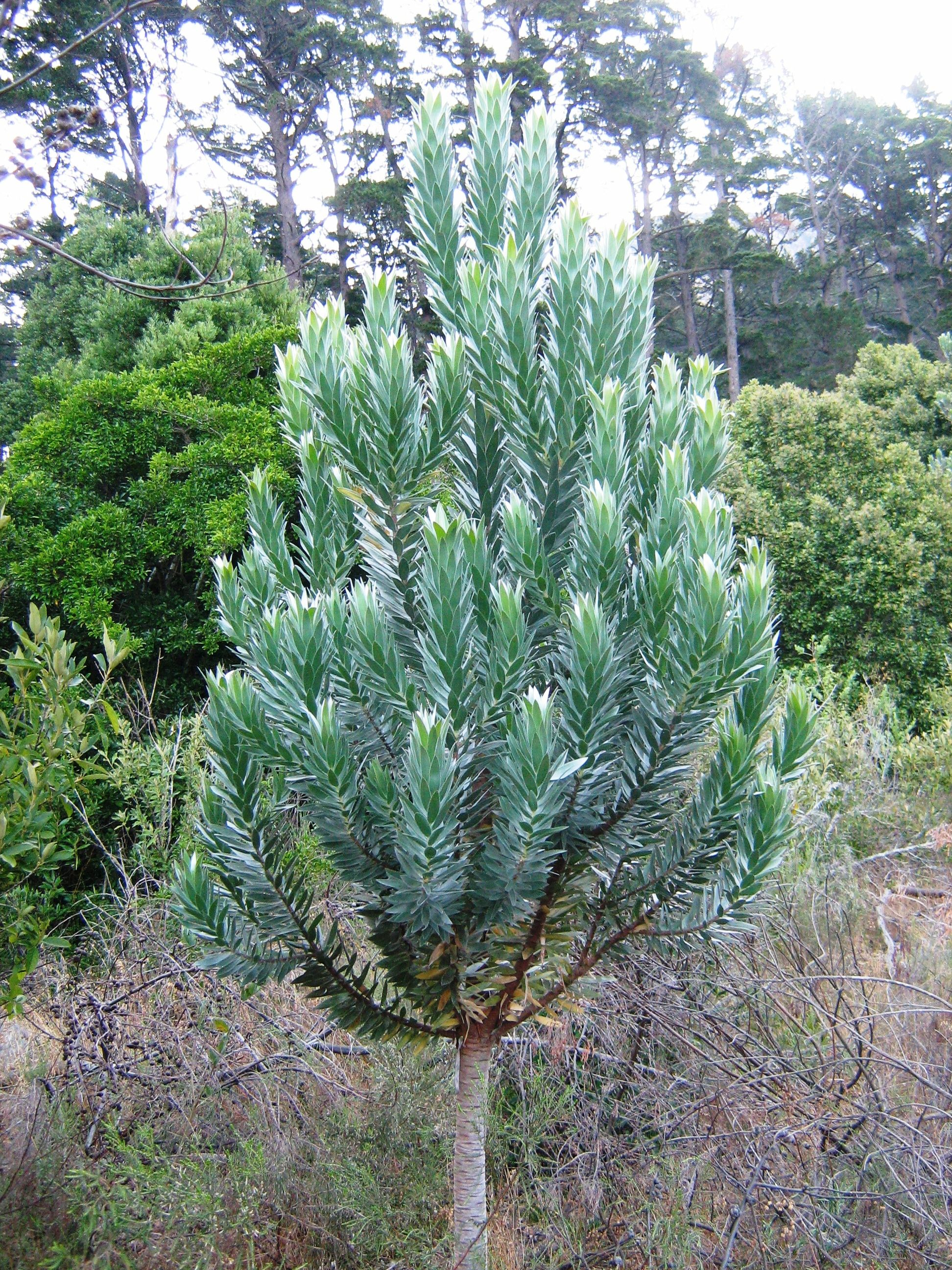 Leucadendron argenteum Plant Lust Leucadendron argenteum