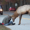 Elk Euthanized after Encounter with Photographer Goes Viral