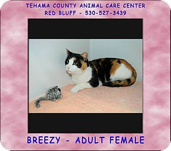 Red Bluff, CA Domestic Shorthair. Meet BREEZY a Cat for