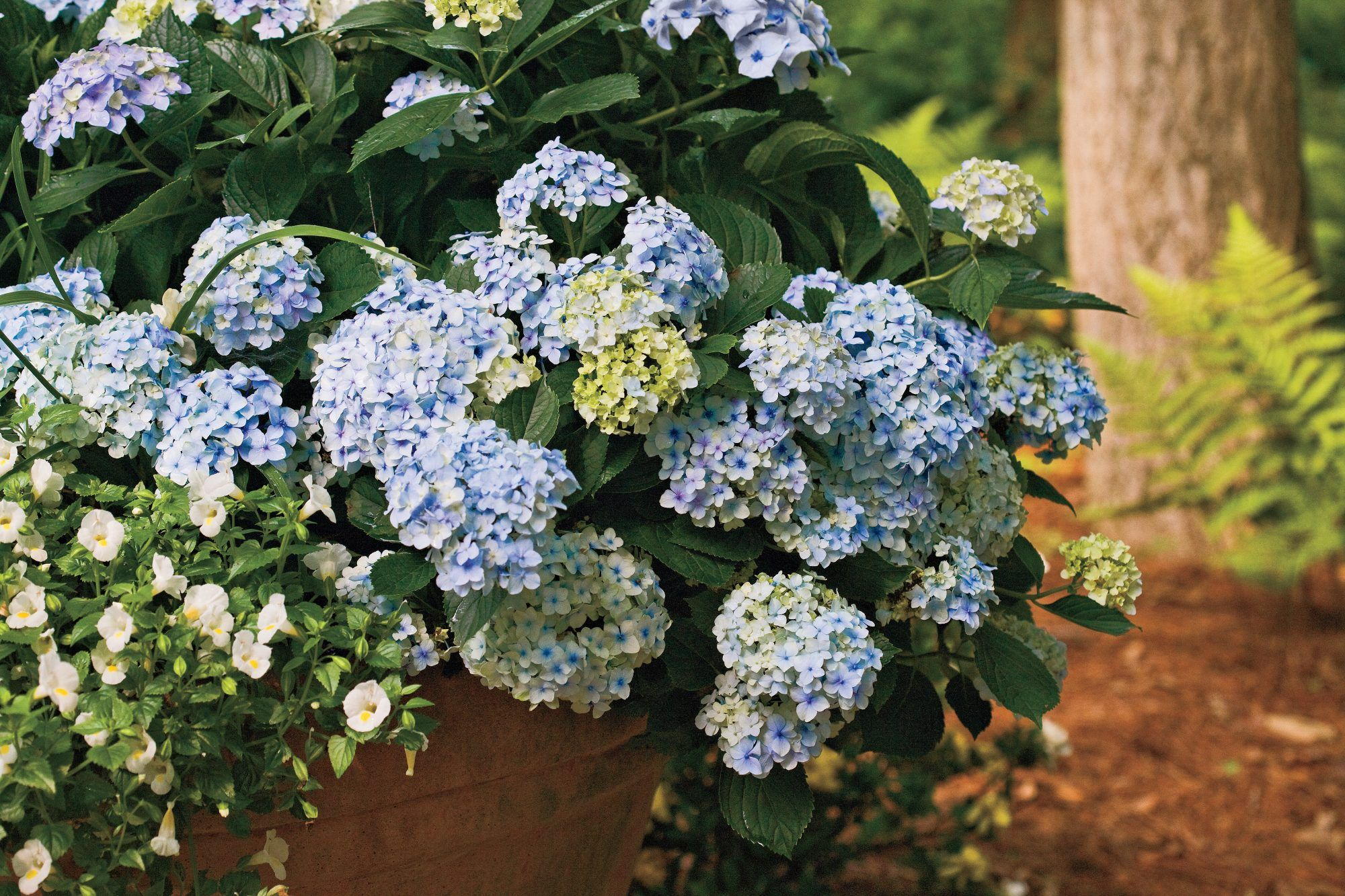 8 Great Plants In 2020 Plants Planting Hydrangeas Potted Geraniums