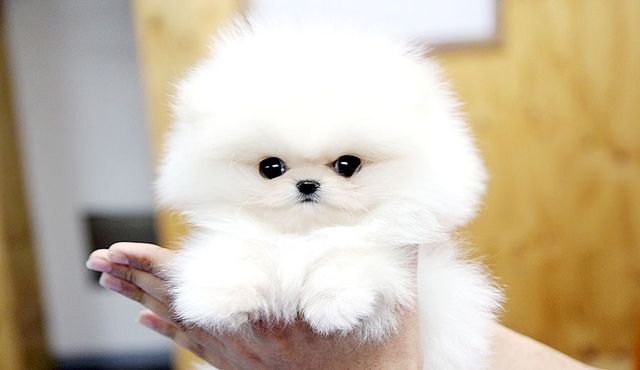 White Teacup Pomeranian Puppies Fluffy teacup pomeranian