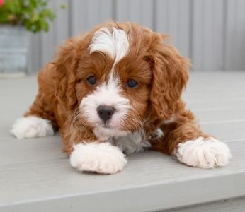 Can You Get Any Cuter Cavapoo Puppies Puppies Cute Puppies
