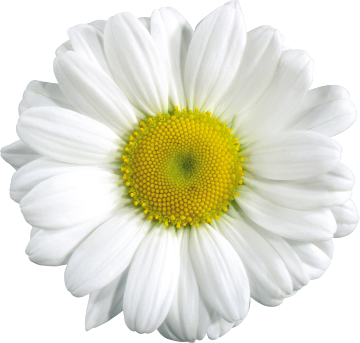 Download Png Image Camomile Png Image Free Flower Picture Flower Pictures Flower Download Daisy Tumblr