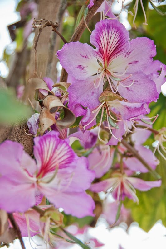 Bauhinia And Urban Foraging In Israel Orchid Tree Urban Foraging Edible Flowers