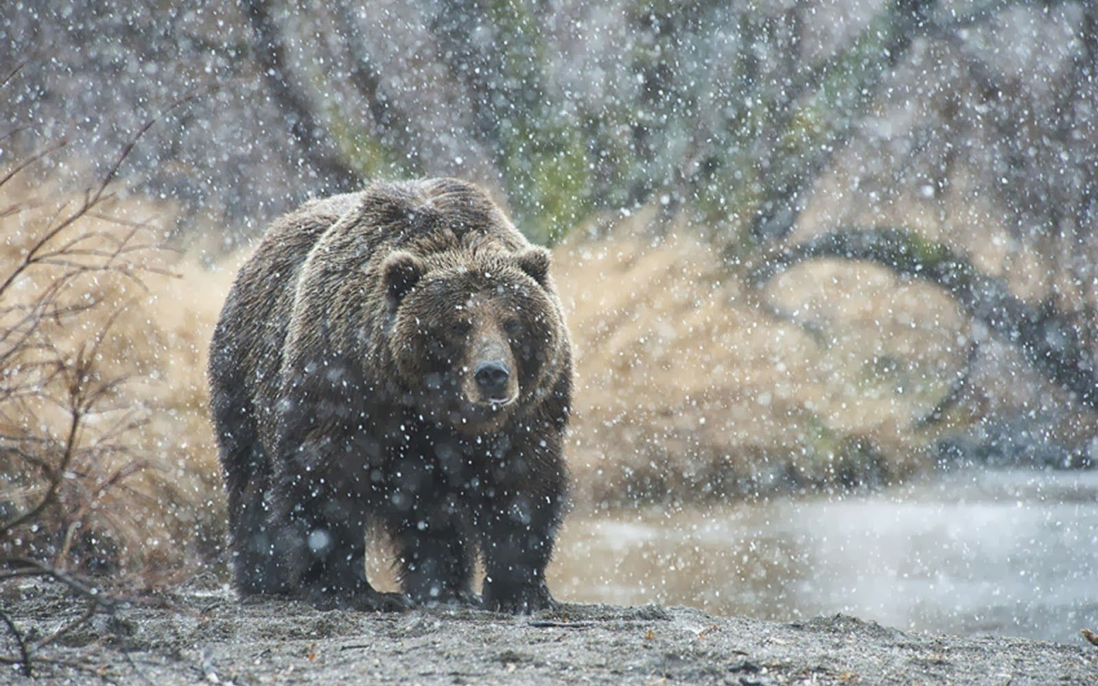 Grizzly Bear Snow Wallpaper