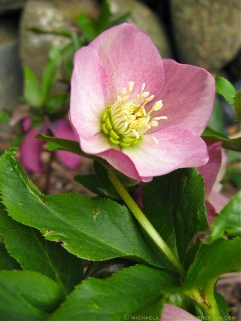 helleborus x hybridus  u0026 39 royal heritage strain u0026 39   u24d2 michaela
