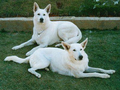 Amitolas White Shepherd Weisser Schaferhund Hunderassen