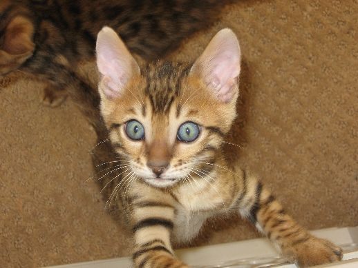 Beautiful Bengal Kittens For Sale In Arvada And Wheat Ridge Colorado Bengal Kitten Bengal Kittens For Sale Kittens