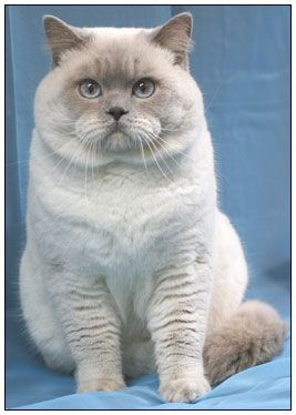 British Shorthair Lilac Point Just Like A Boy Version Of My