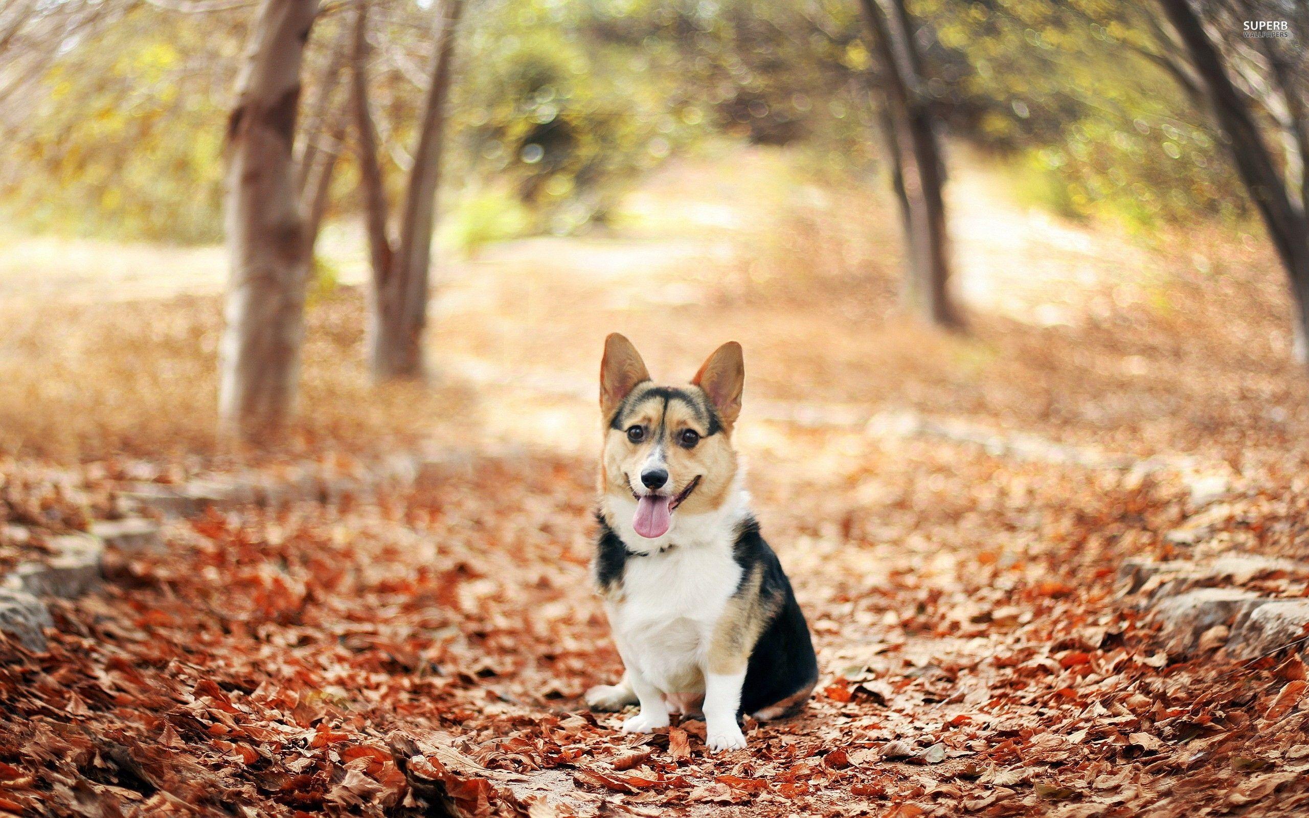 Download Cute Welsh Corgi Puppy Wallpaper Images 0g8 Ngepluk Com Cute Dog Wallpaper Corgi Welsh Corgi Puppies