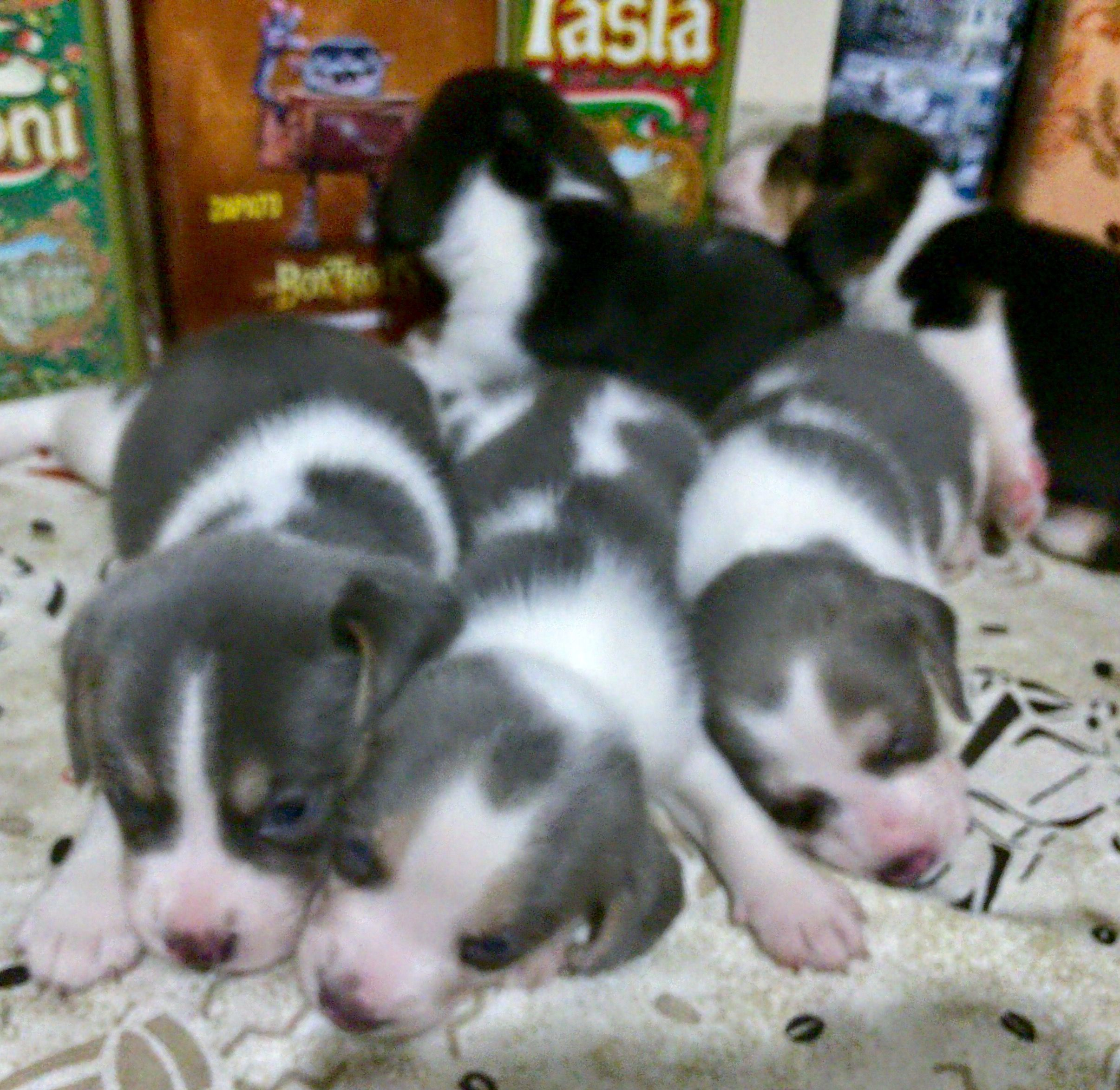 Beagle Silver Blue Tricolor Beagle Silver With Images