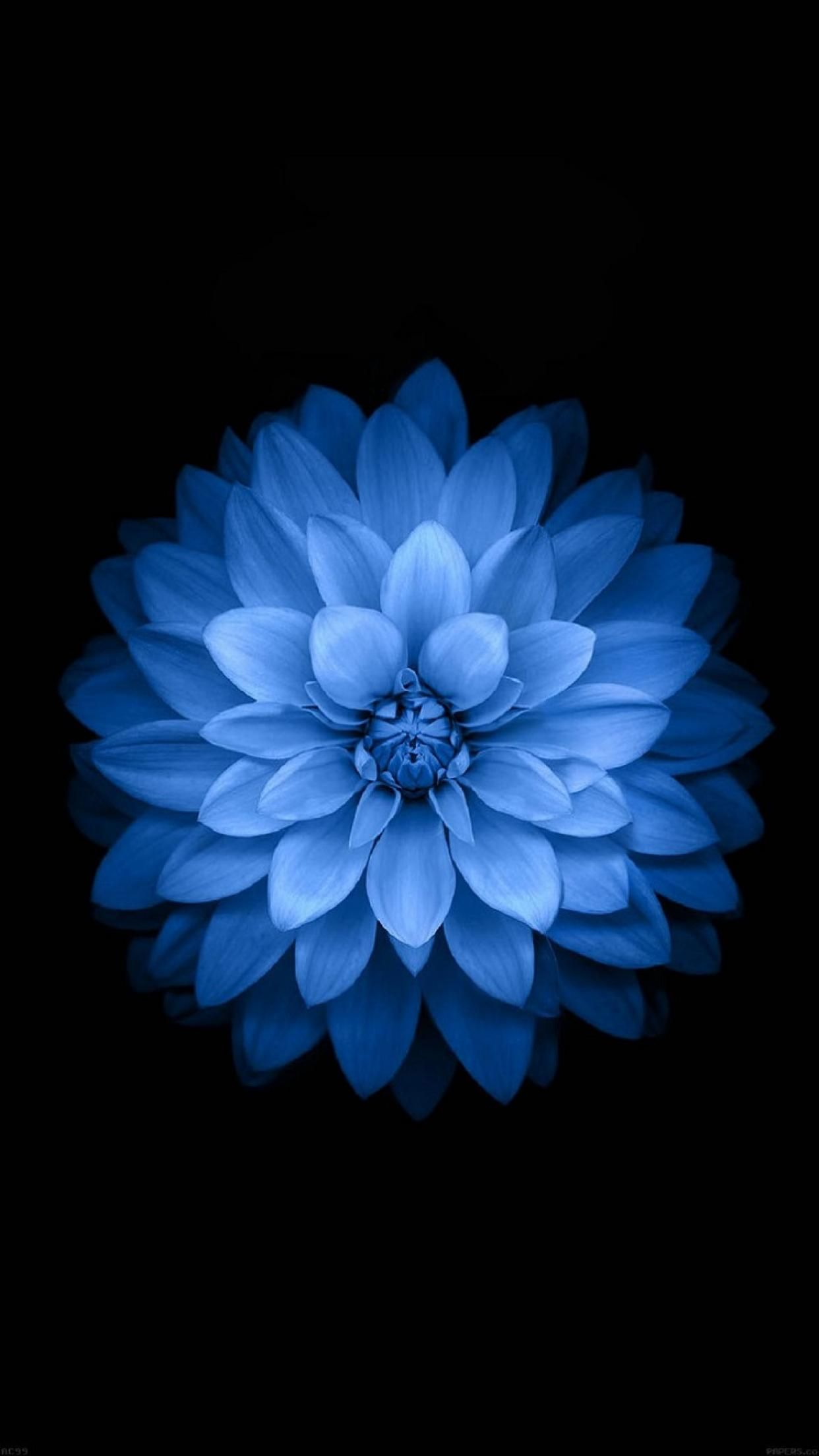 Iphone6 Stock Blue Flower Wallpaper Flower Iphone Wallpaper