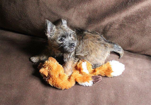 Boo Cairn Terrier Puppies Terrier Puppies Cairn Terrier