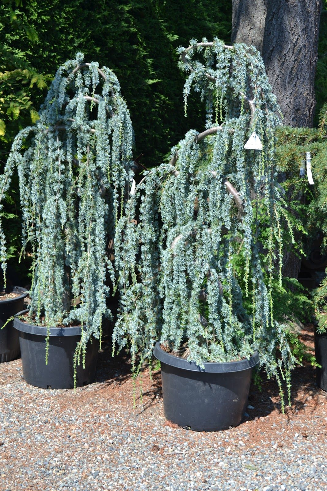 Weeping blue atlas cedar would like to consider a for Weeping garden trees