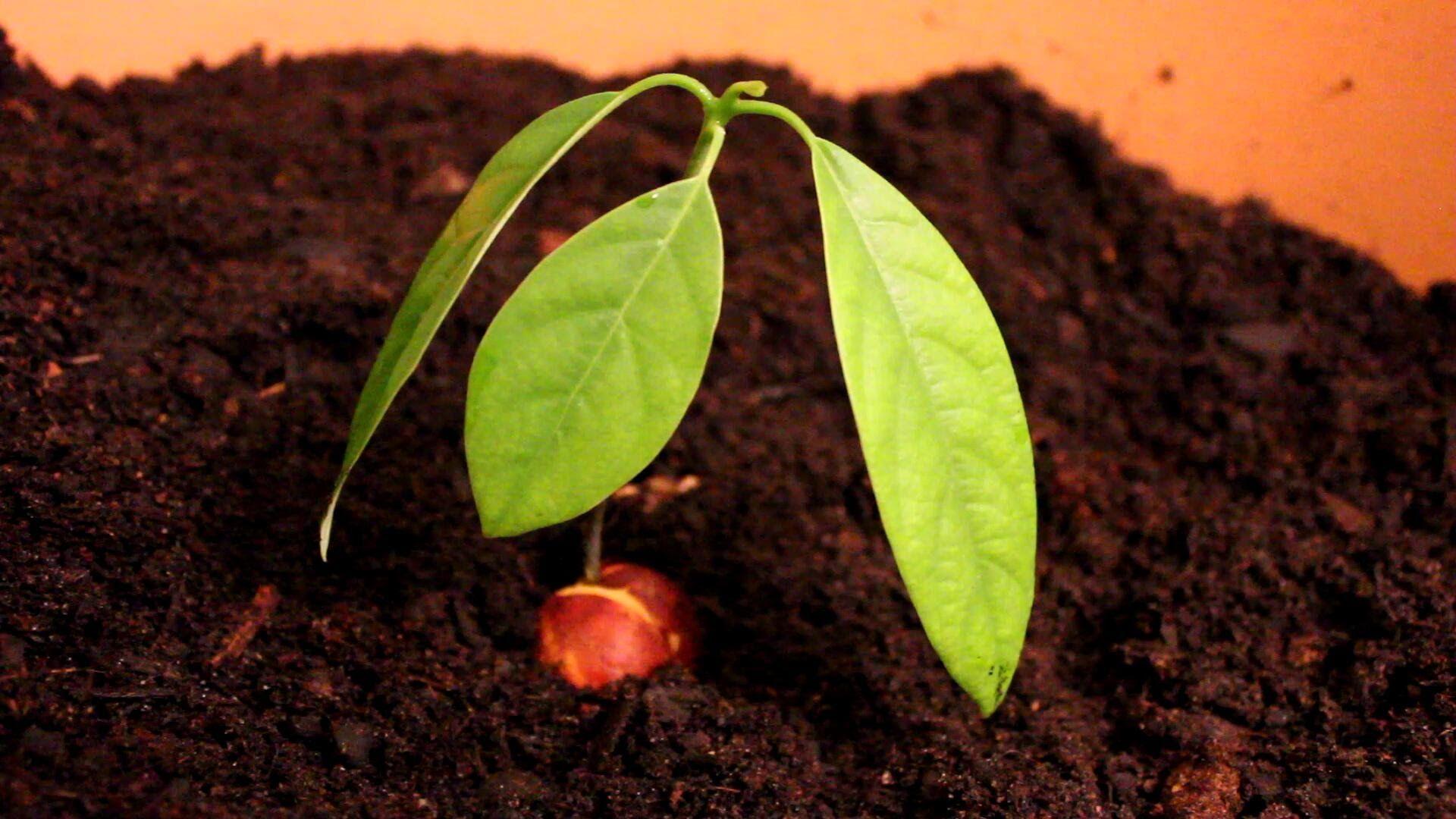 Avocado pflanzen