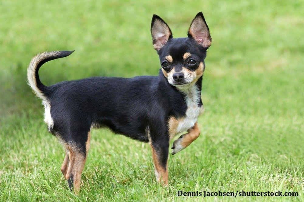 Chihuahua Kurzhaar Hunderassen, Tier memen und Lustige