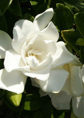 Jubilation Gardenia Order Online With Plantsbymail Com Flowering Shrubs Plants White Flowers