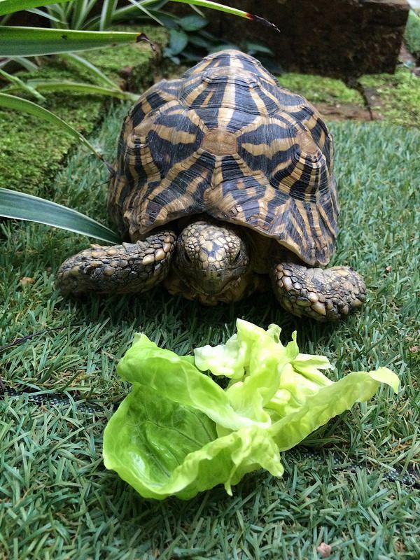 An Indian Star Tortoise. Indian star tortoise