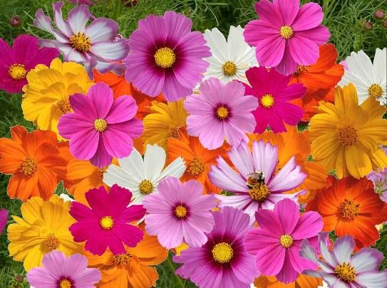 Cosmos Seeds For Sale Buy Bulk Cosmos Flower Seeds At Eden Brothers Crazy For Cosmos Cosmos Flower Seed Mix Cosmos Flowers Flower Seeds Beautiful Flowers