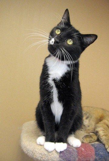 tuxedo cat, WoW