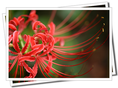 Lycoris Bulbs Spider Lilies Magic Lilies Resurrection Lilies Surprise Lilies Red Spider Lily Lily Plants Lily Plant Care