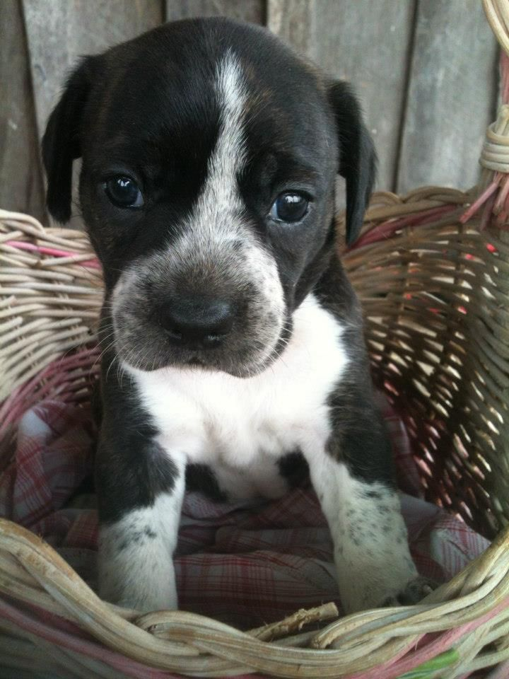 Boston Terrier/Beagle Mix... omg this looks like baby ... Beagle Boxer Mix Full Grown