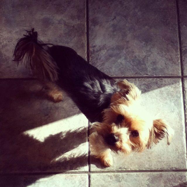 Daisy Mai, Yorkshire Terrier