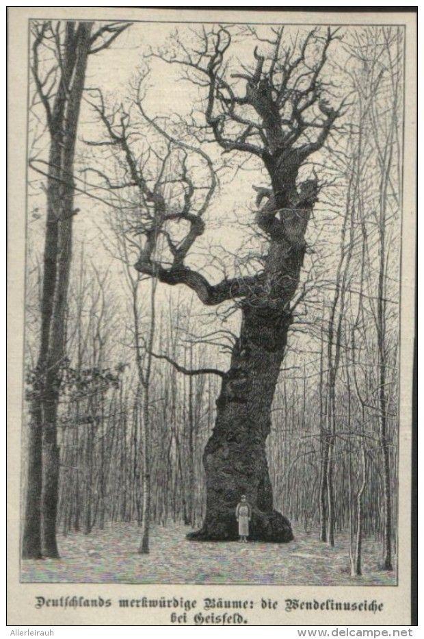 Deutschlands Merkwurdige Baume Die Wendelinuseiche Bei Geisfeld Druck Entnommen Aus Die Gartenlaube 1898 Zu Verkaufen Auf Delcampe Baum Gartenlaube Laub
