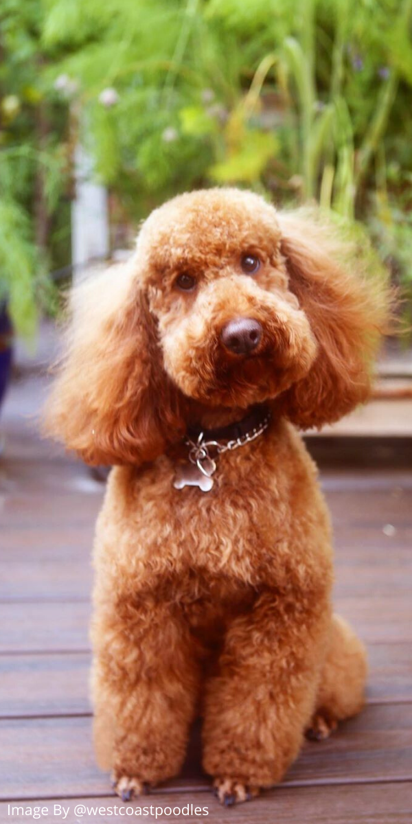 Poodles are considered to be the best breeds to own as there are extremely sensitive and much attached. Poodle puppies are one of the cutest and eye-catching puppies ever. #poodlepuppy #poodlepuppytraining #poodlepuppies #cutepoodlepuppies #dogsandpuppiespoodle #dogsandpuppies #cutedogs #funnypuppies