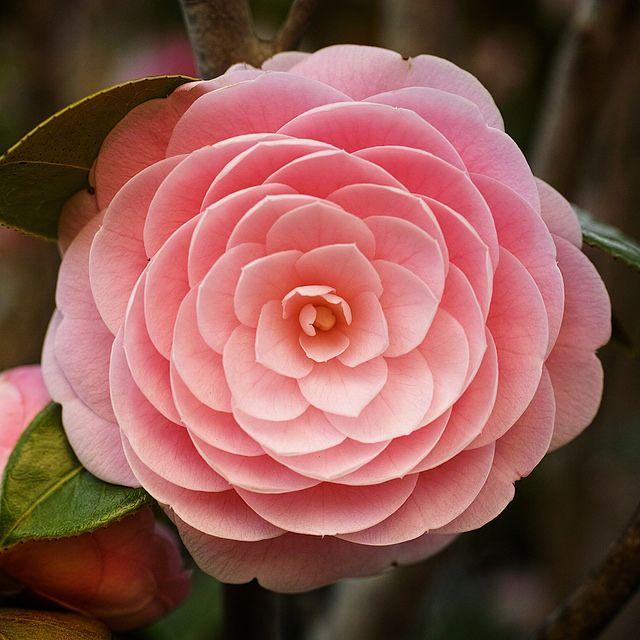 Camellia With A Sigma Dp3 3 3 En 2020 Camelias Camelia Flores