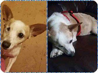 Waco Tx Cardigan Welsh Corgi Mix Meet Celia A Dog For Adoption Http Www Adoptapet Com Pet 18883653 Waco Texas Card Welsh Corgi Mix Kitten Adoption Pets