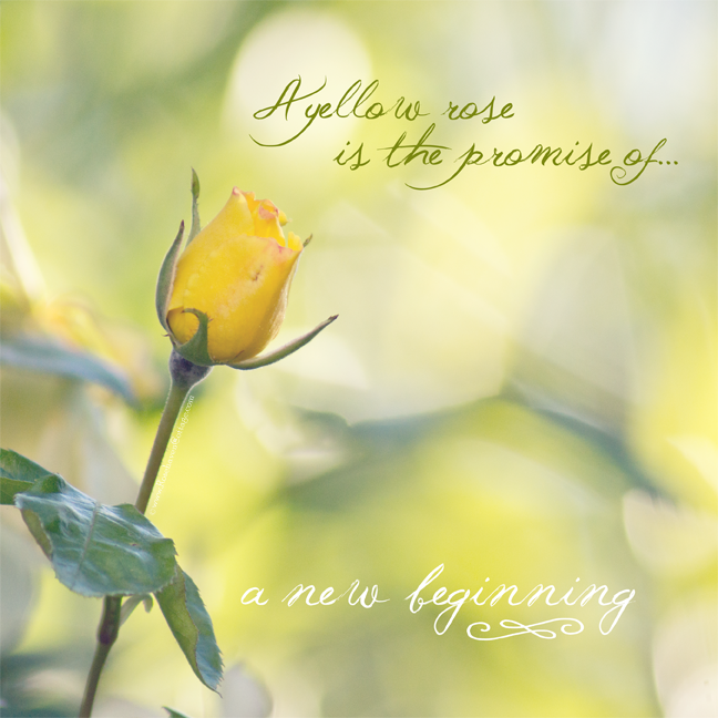 A yellow rose is the promise of a new beginning Yellow roses