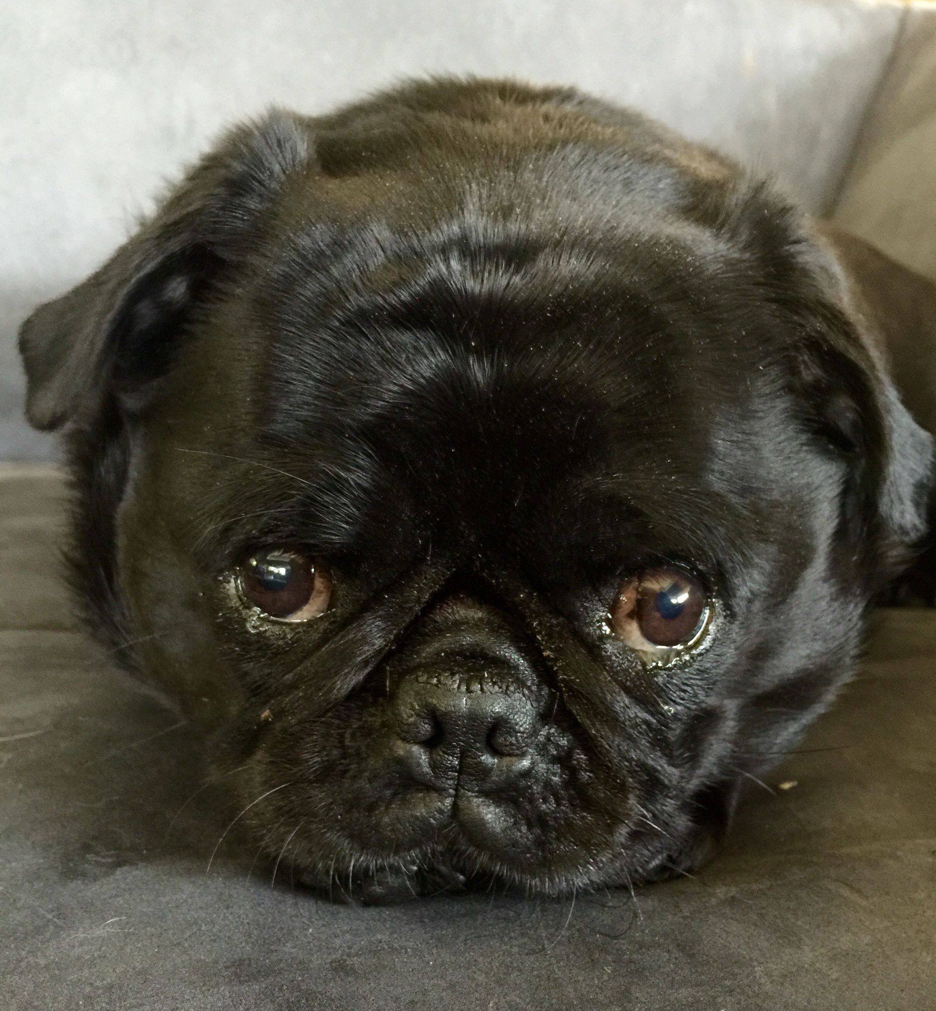 Cute Black Pug Close Up Sweet Face With Images Black Pug