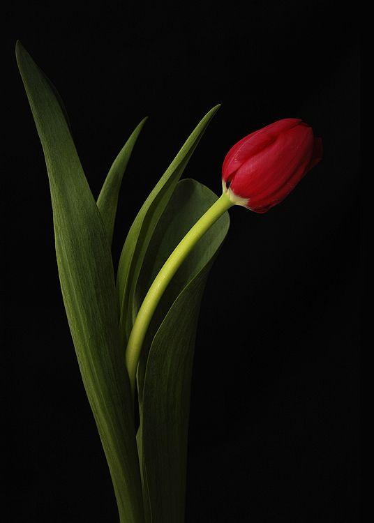 En Güzel Lale Resimleri Laleler Beautiful Flowers Plants Ve Tulips