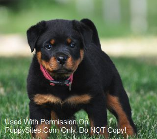 Von Sarco Rottweilers I Will Own One Of Their Puppies Someday 3