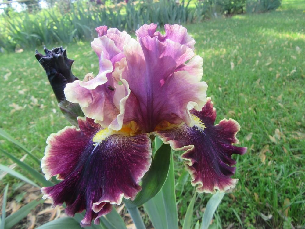 Irises Plant Care And Collection Of Varieties Garden Org Plants Orchid Plants Beautiful Flowers