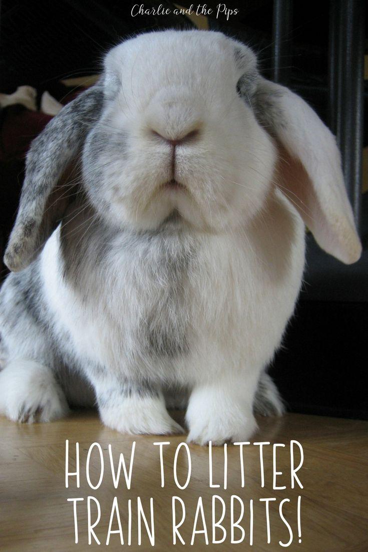 How to litter train rabbits litter training litter