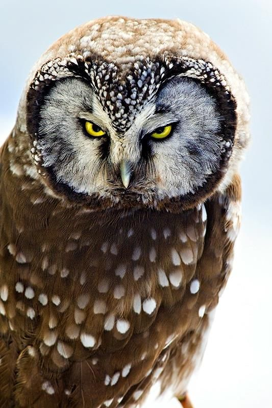 Boreal Owl by Carrie Groseclose