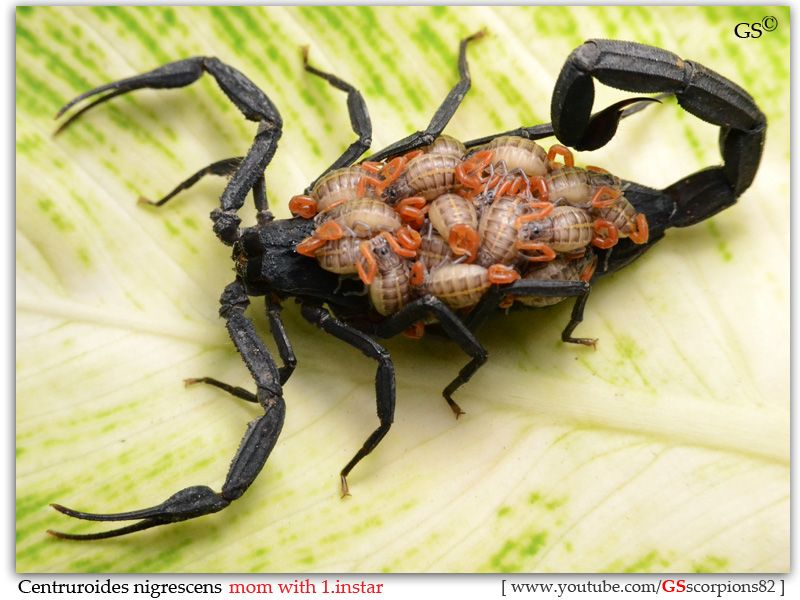OMG .... scorpion carrying babies