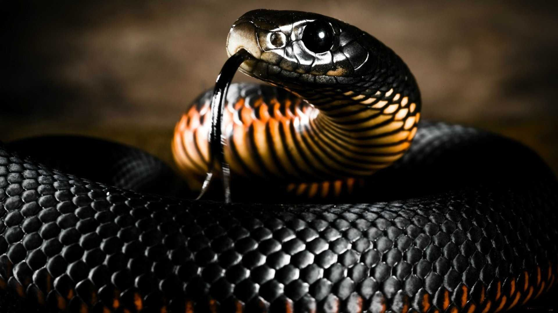 Black Mamba Snake Collection Jpg 1920 1080 Snake Wallpaper Mamba Snake Black Mamba Snake