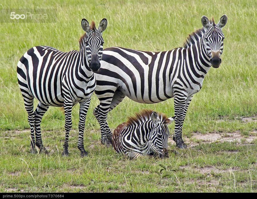 Zebra family (With images) Zebra, African animals, Zebras