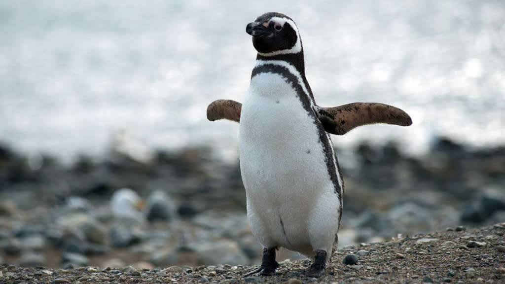 Animales Autóctonos De Argentina En Peligro De Extinción Pinguino De Magallanes En 2021 Pinguino De Magallanes Especie Animal Pinguinos