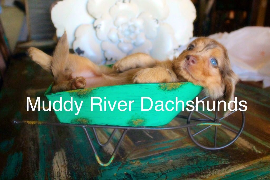 Chocolate dapple longhair Miniature Dachshund Puppies texas | Summer ...
