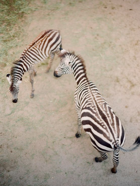 sweet zebras...xoxo http://www.kissthegroom.com/2011/12/life-on-location/