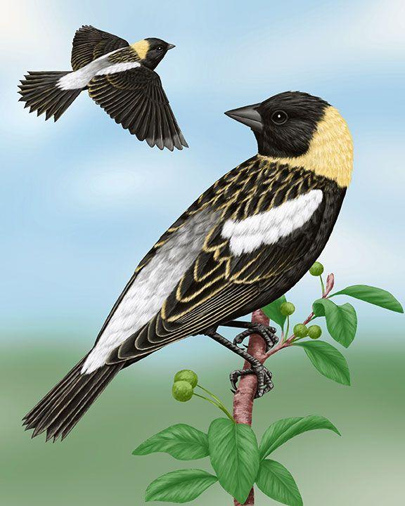 Bobolink Bird Photo Black Bird Birds Butterflies