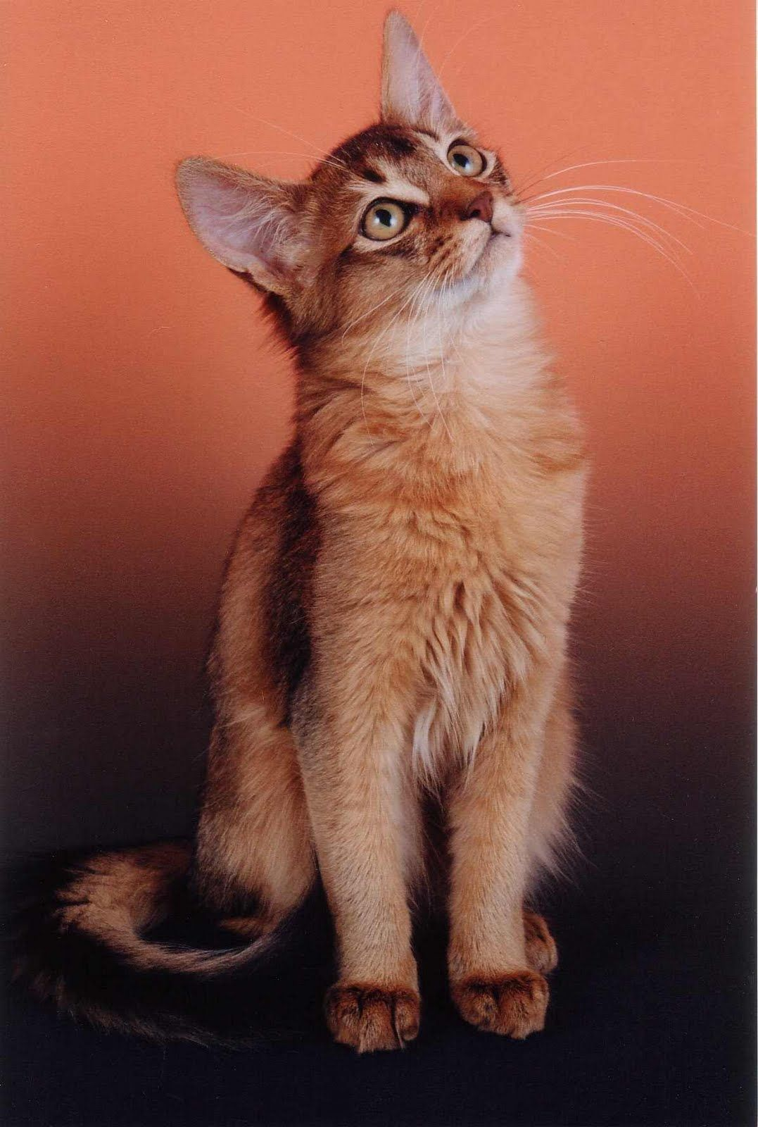 Somali is a cat breed created from long-haired Abyssinian cats ...