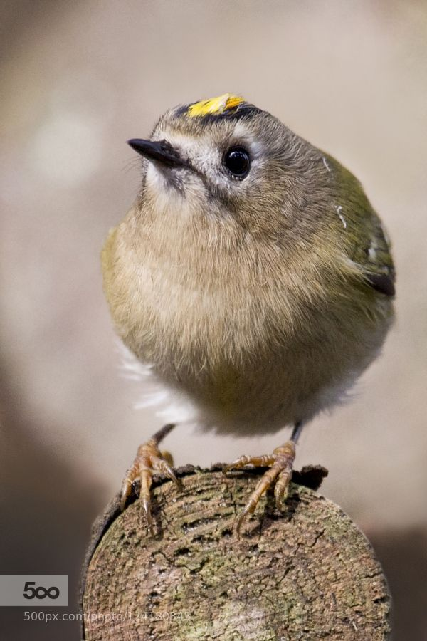 Goldcrest by JokeHulst #nature