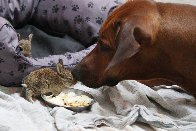 Rhodesian Ridgeback Dog Cares For Little Wild Rabbits Rhodesian Ridgeback Dog Rhodesian Ridgeback Dog Care